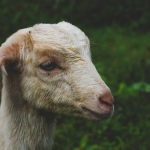 Goat for sell