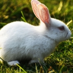 Rabbit for sell